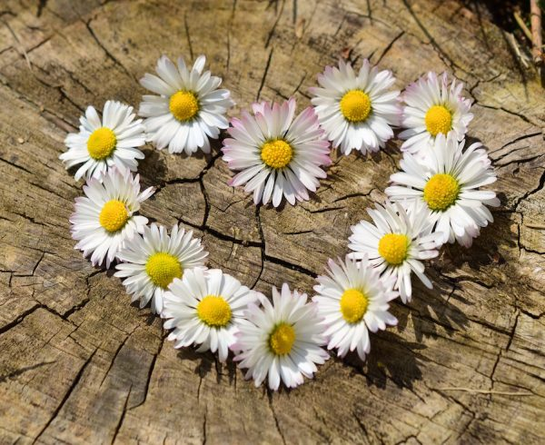 Daisy heart flowers
